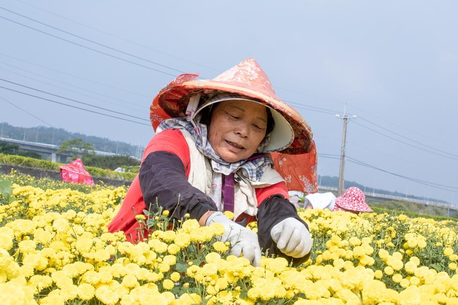 秋日是銅鑼杭菊盛開的季節, 田間常可見到採菊阿姨們忙碌的工作景象 。( 圖.林玉偉)