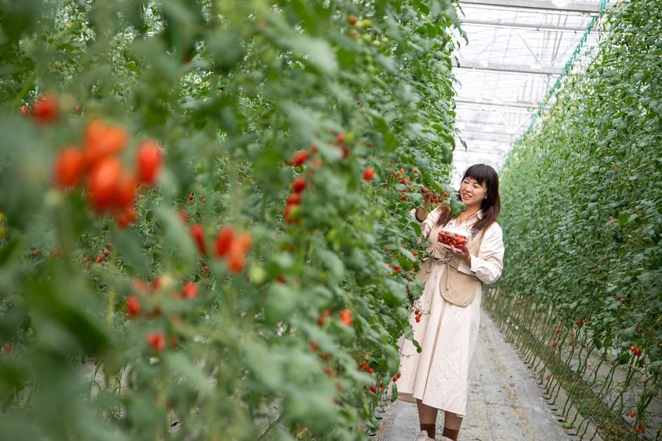 滿園鮮嫩欲滴的小番茄,是苗栗最在地的水果之一。( 圖.林玉偉)