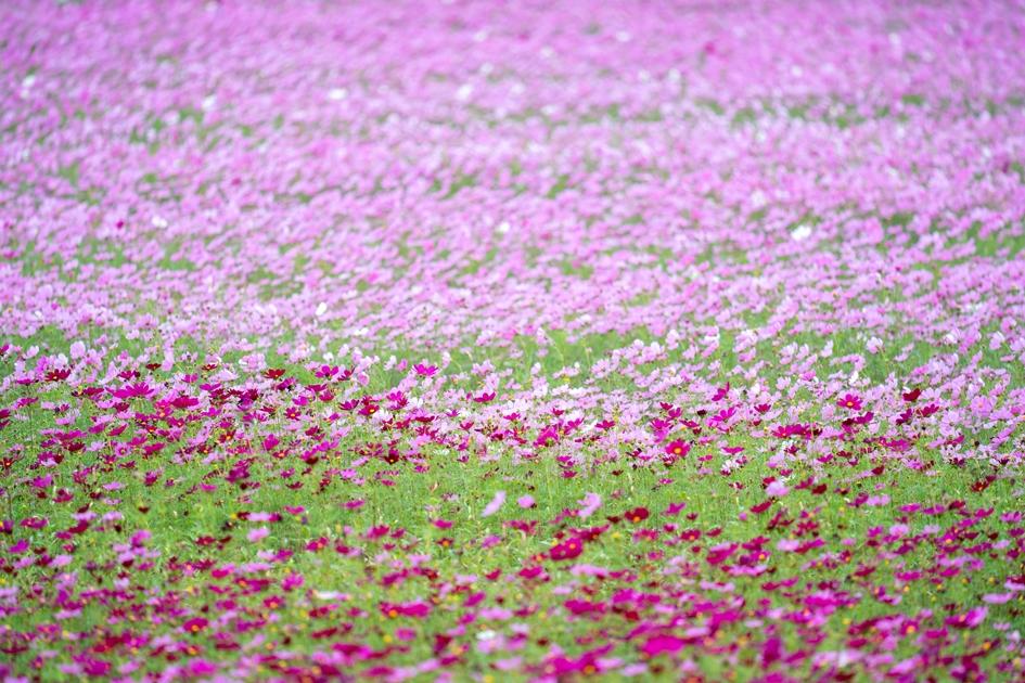 除了仙草花,還有夢幻的波斯菊花海供遊客拍照。( 圖. 林玉偉 )