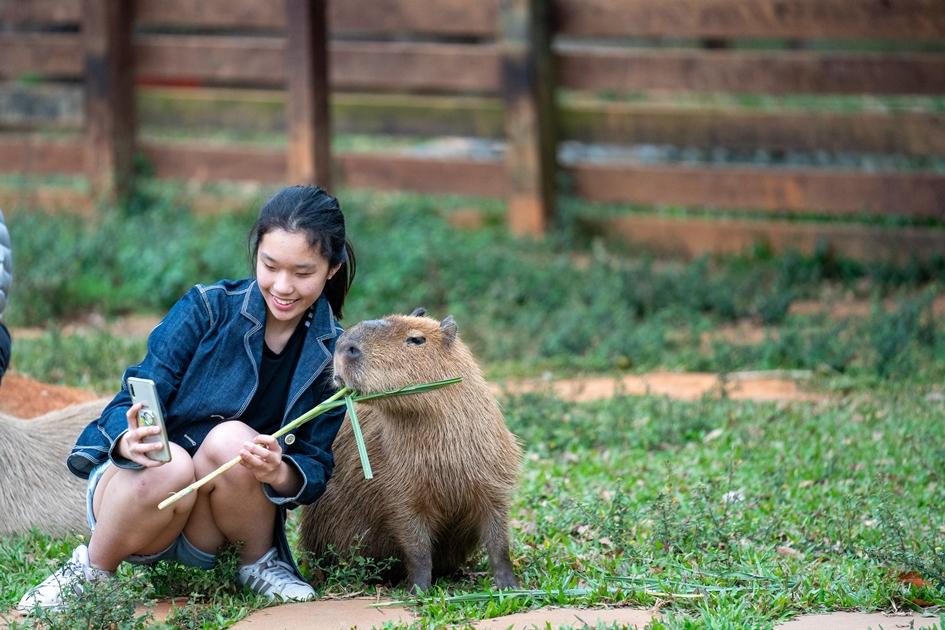 埔心牧場可以餵食呆萌的水豚與山羊等小動物,以及可愛的動物奔跑競賽可欣賞。( 圖. 林玉偉)