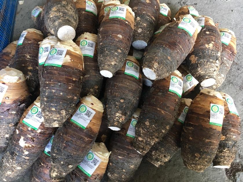 大安區生產的安溪芋香氣濃郁,是做芋燒酎的最佳原料。( 圖片提供.大安農會酒莊)