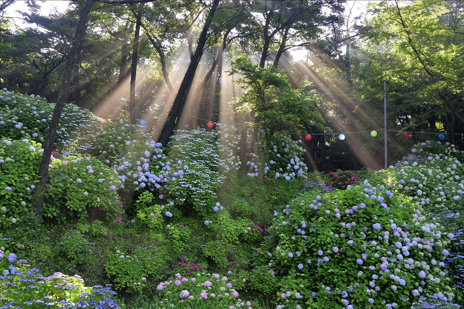 初夏的太宗台繡球花文化季,滿山紫色花球美不勝收。( 圖片提供.釜山觀光公社 )